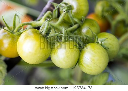 Clusters of fresh ripening cherry tomatoes growing on vine in garden organic healthy eating and fresh food concept