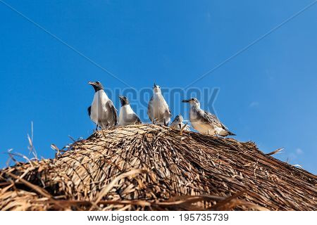 Seagulls sitting on the straw roof at the tropical beach in Cancun Mexico
