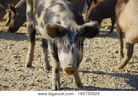 Wild pigs live freely in Corsica Mountins