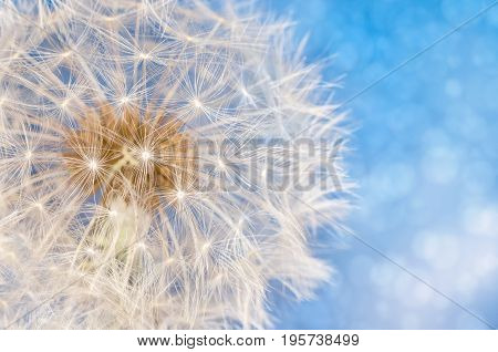 Dandelion flower with seeds ball close up in blue bright bokeh background