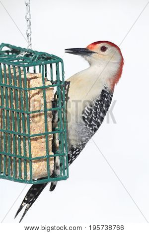 Male Red-bellied Woodpecker (Melanerpes carolinus) on a suet feeder on a white background