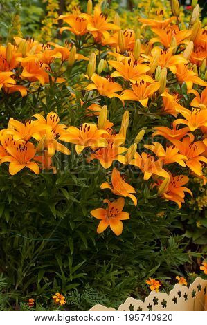 Lily Advantage. In Summer Garden Bud Grow Many Beautiful Yellow Orange Flowers Of Lily Advantage.