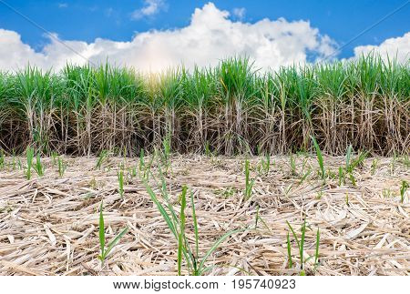 sugarcane field with blue sky and coppy space