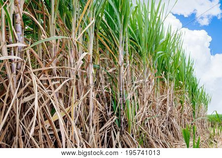 sugarcane field with blue sky in tropical area