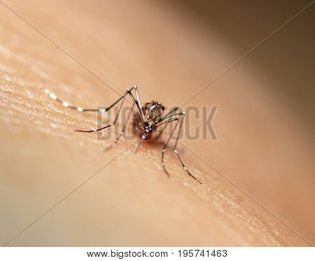 black culex mosquito sucking blood on human skin