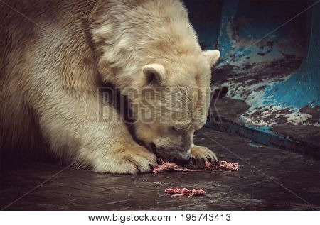 The polar bear eats meat and his face in blood fangs tearing the flesh.