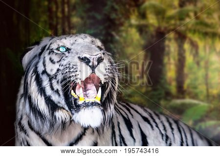 The White Tiger Growls. Big Canines