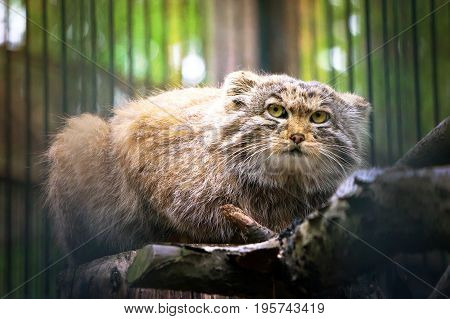 Pallas's Cat, Or Manul, Lives In The Cold And Arid Steppes Of Central Asia.