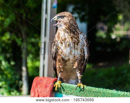Hawk. Buteo rufinus. Portrait of a bird close up.