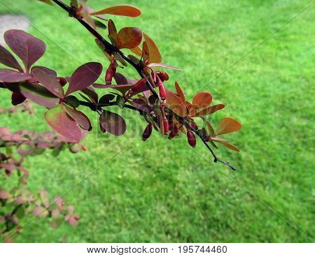 barberry on a branch after a rain
