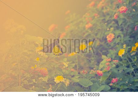 Flying butterfly and Hedge flowers. Golden birdwing butterfly. Beautiful nature