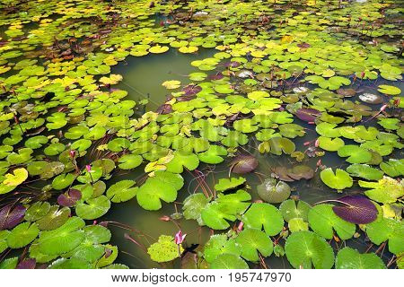 Water lilies on the surface of a lake