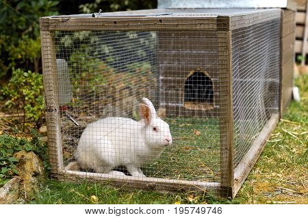 Pet white rabbit in rabbit hutch enclosure in suburban backyard