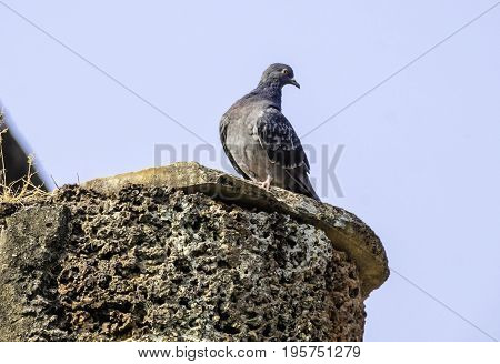 Pigeon is standing on the laterite column. Pigeon on bright blue sky background. Sunny spring day. Proud blue pigeon strikes a pose. Beautiful view on bird and bare tree