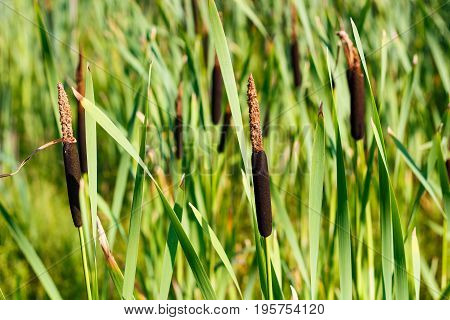 Reed Plant On The Shores Of Lake. Cattail Closeup