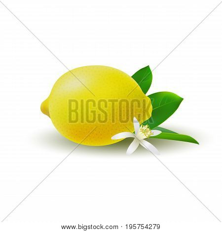 Isolated colored whole juicy yellow lemon with green leaf white flower and shadow on white background. Realistic citrus fruit