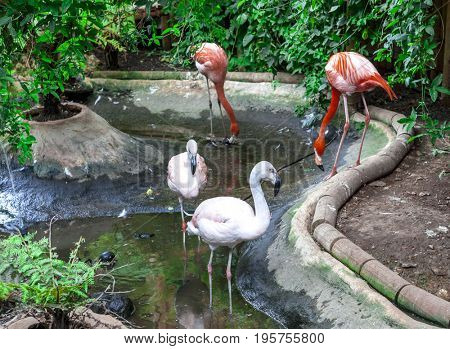 A pair of flamingos are walking in the zoo. A large flamingo bird walks in the zoo nursery