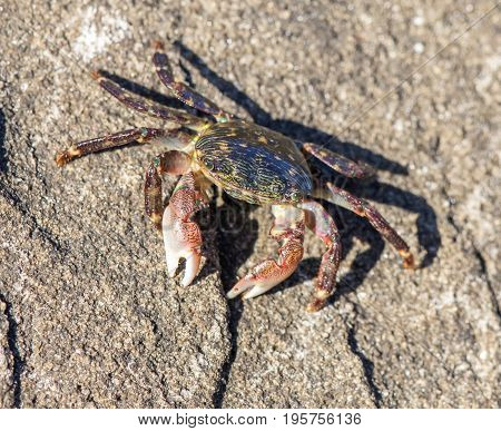 Striped (Lined) Shore Crab - Pachygrapsus crassipes. San Mateo County, California, USA.