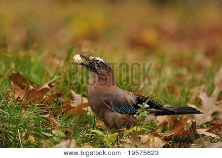 Jay with peanut in beak on autumn ground poster