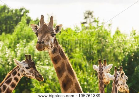 Close-up of a giraffe in front of some green trees