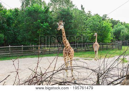Giraffes herd at the zoo. Group of giraffes walks in summer nature