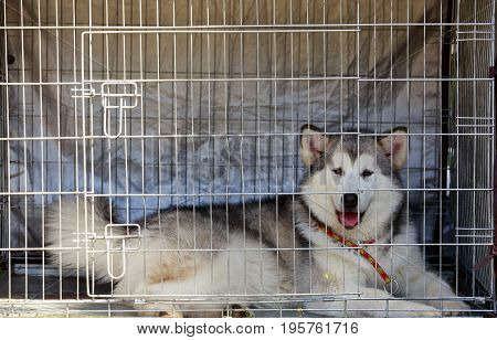 Young dog Alaskan Malamute in a cage