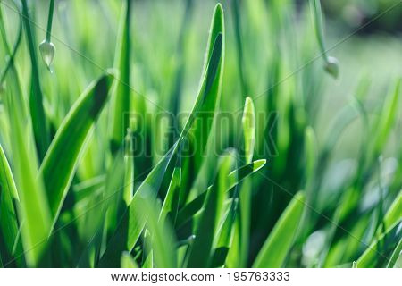 The soft focus green grass background. Green grass meadow in sunny morning