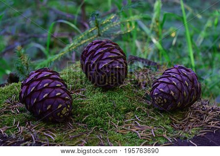 Three immature siberian cedar pine cones on stump with green moss and needles background.