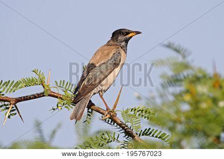 Rosy Starling Pastor Roseus Birds Of Thailand