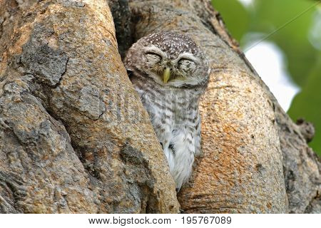 Spotted Owlet Athene Brama Birds Sleeping In Tree Hollow