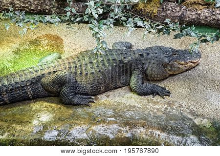 Sleeping big crocodile in Tropicarium Budapest, hungary