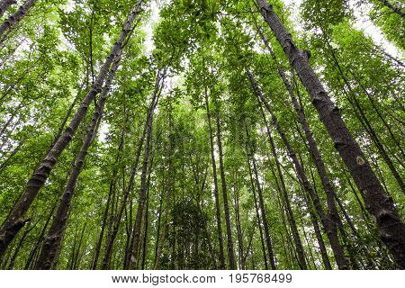 The green tree of tall in a forest