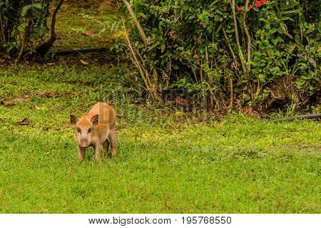 Brown Domestic Pig Eating Grass