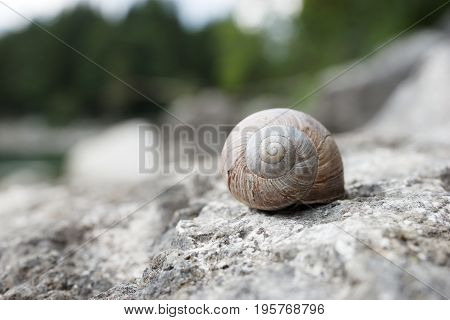 Big snail hides between stones, closeup big snail
