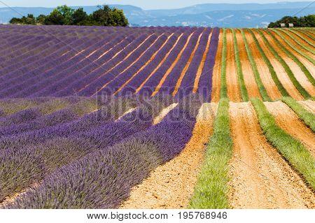 lavender harvester in valensole agricultural provence france