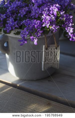 Fresh violet campanula is in the grey pot on the wooden background