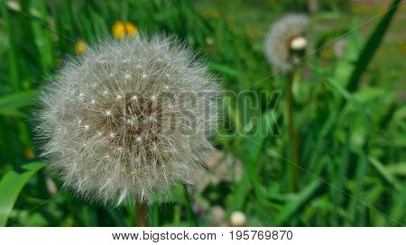 Fragile fluffy dandelion in a green summer garden