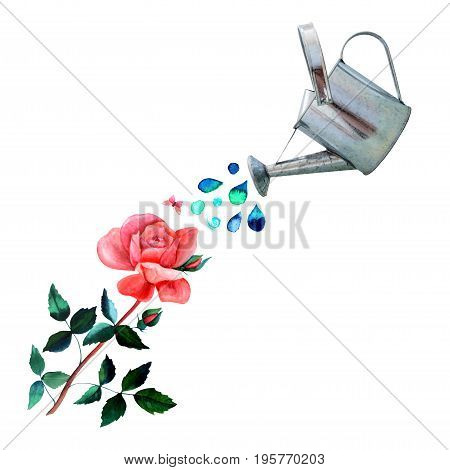 A collage of watercolor drawings and a photo cutout. A watering can pouring water over a vintage style red rose with many green leaves, with a little pink butterfly, and a place for text, on white