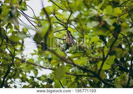 A Flying Fox Hanging On A Tree On An Island