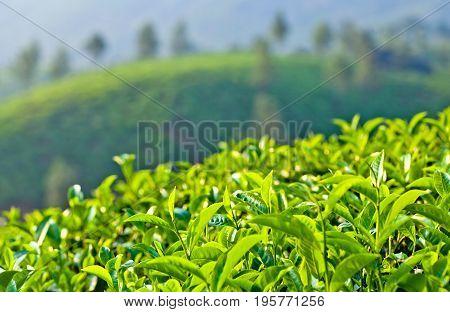 Green Tea trees on blurred background - tea plantations in Munnar, Kerala, South India