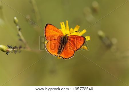 A scarce copper butterfly Lycaena virgaureae on a flower.