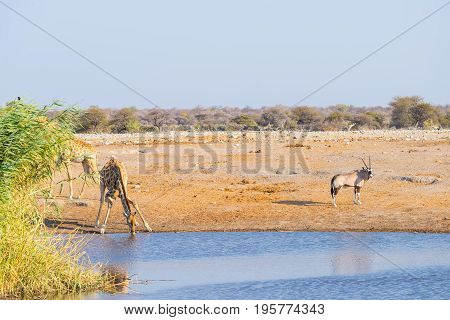 Giraffe Kneeling And Drinking From Waterhole In Daylight. Oryx Standing On The Pond Bank. Wildlife S