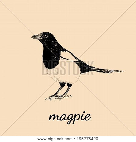 Magpie sketch vector illustration. Bird Magpie design hand drawing