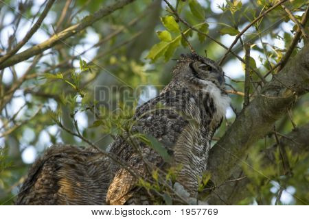 great crested owl in a tree with mate poster