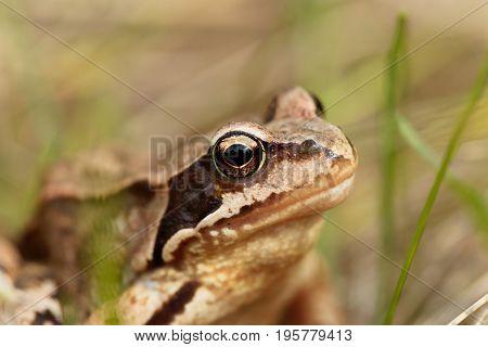 A European common frog Rana temporaria in a meadow.