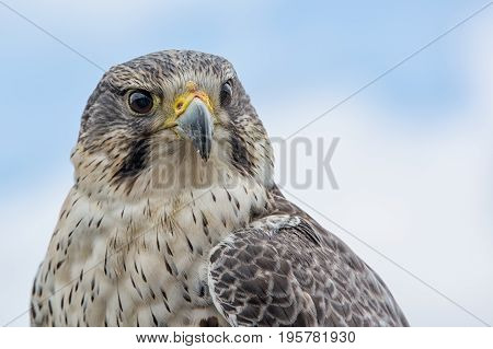 Close up photograph looking slightly up of the portrait of a saker hybrid falcon with the sky in the background