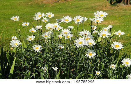 some nice blooming daisy wheels in summer