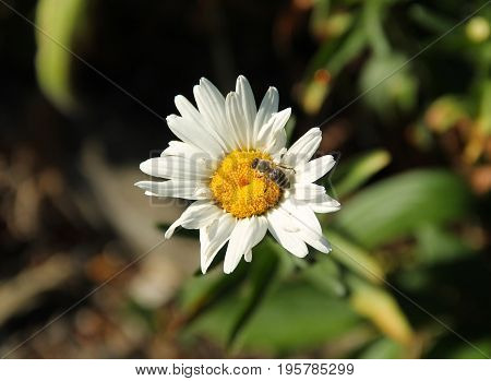 close photo of a honey bee feeding on the white bloom of daisy wheel