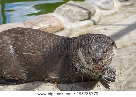 Otter or River otter or common otter or pestle Lutra lutra is a species of predatory mammals of the family of cuni, leading a semi-aquatic life. Close-up