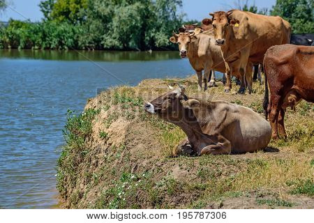 Flock of cows on the pasture in rural landscape